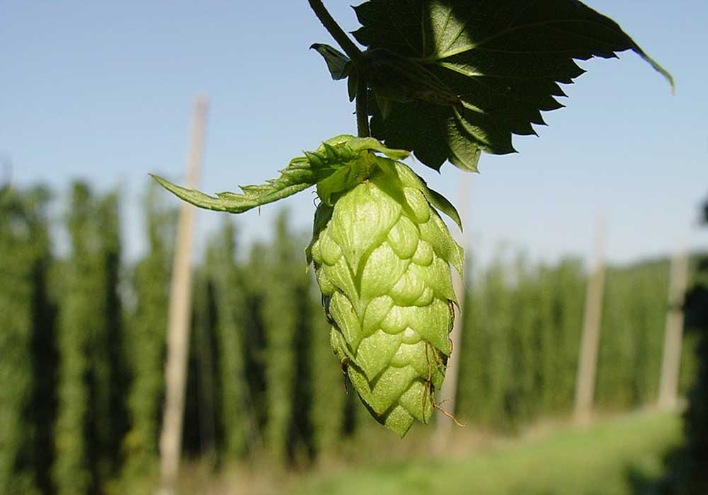 A Beginner's Guide To Hops Around The World