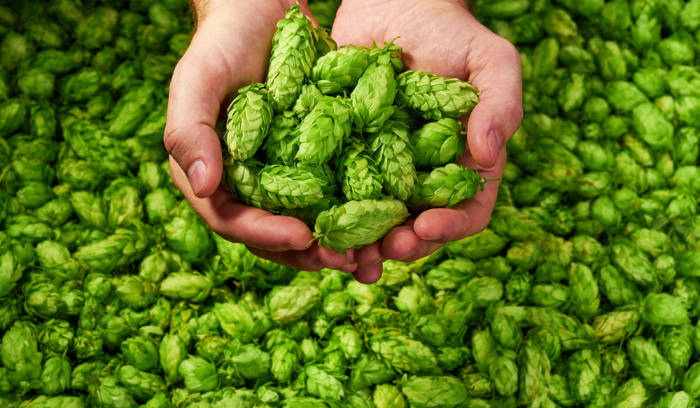 Hops used in beer